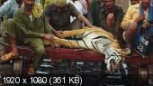 Сломанный хвост. Последнее путешествие тигра / Broken Tail: A Tiger's Last Journey (2011) BDRip 1080p